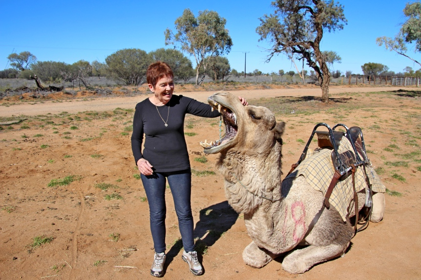 A camel ride in Alice Springs. It's a good thing Camels are vegetarian.