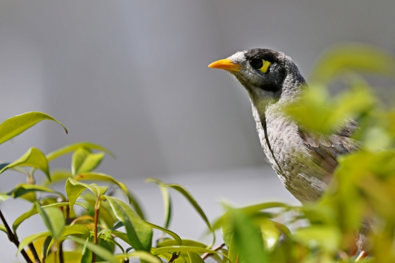 Mother Mynah (1)